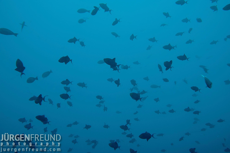 Massive school of blue triggerfish (Odonus niger) swimming in the blue, out just out of the reef.