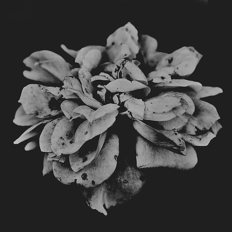 Black and white photograph of a flower.