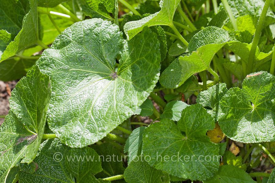 Stockrose, Stock-Rose, Blätter, Blattrosette vor der Blüte, Alcea spec., Hollyhook, Rose trémière