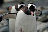 March of the Penguins II