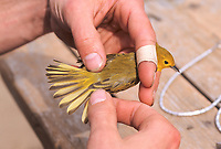 Bird research performed on a Yellow Warbler, caught in a mist net at Creamer's field migratory waterfowl refuge, Fairbanks, Alaska