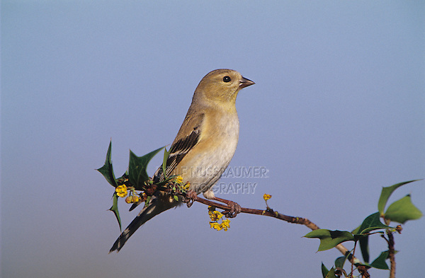 American Goldfinch, Carduelis tristis, adult winter plumage, Welder Wildlife Refuge, Sinton, Texas, USA, March 2005