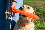 Man's hand reaching for the Yellow Labrador retriever's (AKC) orange dummy