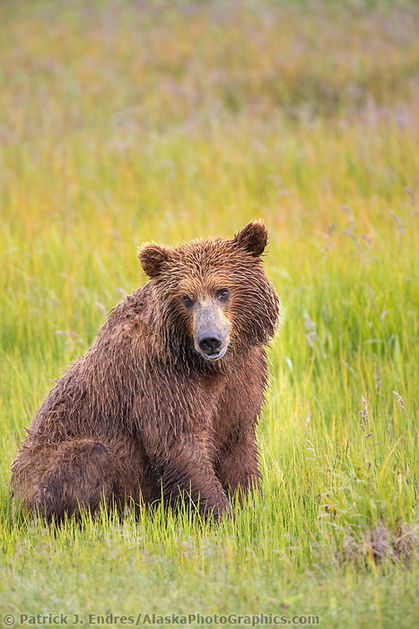 Brown bear in grassy meadow, Katmai National Park, Alaska Peninsula, southwest Alaska.