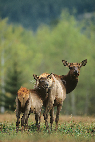 Elk, Wapiti (Cervus elaphus), Cow with calf, Yellowstone National Park, Wyoming, USA