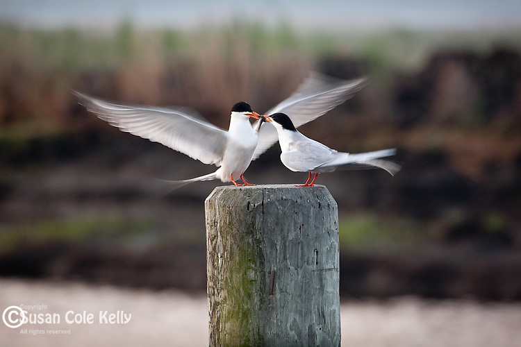 Terns do a mating dance in Dennis Creek WMA in Dennis, NJ, USA