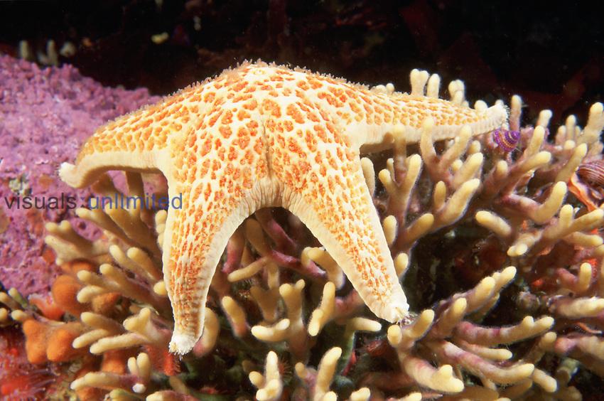 A Leather Sea Star ,Dermasterias imbricata, feeding on a Bryozoan colony, Central California, USA.
