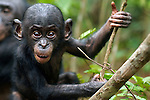 Bonobo male baby aged 10 months (Pan paniscus), Lola Ya Bonobo Sanctuary, Democratic Republic of Congo.