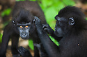 Crested black macaques delousing, (Macaca nigra), Indonesia, Sulawesi, endangered species, threatened through loss of habitat and bush meat trade, species only occurs on Sulawesi.