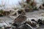 SPARROW; savannah sparrow