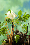 Dutchmans-Breeches, Dicentra cucullaria, bleeding heart