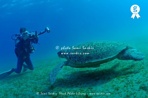 Diver photographing Green turtle (Chelonia midas) on seabed, Red Sea, Egypt (Licence this image exclusively with Getty: http://www.gettyimages.com/detail/81867376 )