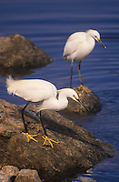 525158032 a wild snowy egret egretta thula in breeding plumage stands on a rock looking for fish in a small salt water lagoon near santa barbara california
