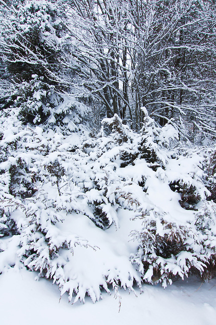 A juniper and surrounding shrubs are cover with a fresh coat of snow after an overnight snow storm, Newport State Park, Door County, Wisconsin