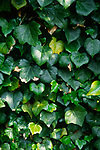 ADFWP0 Ivy growing on tree trunk
