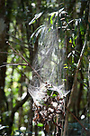 Communual Spiders Web, in forest, Analamazaotra Reserve, Madagascar, backlight in tree