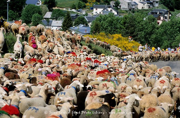 Flock of sheep arriving at Espérou village for summer transhumance, Gard, France.