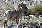 Ram desert bighorn sheep