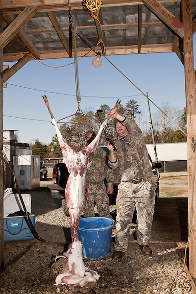 January 2, 2012. Chapel Hill, NC.. (left to right)  Boo Huskins and Chris Mostiller , of Marion, NC, skin a buck on the racks out back of Norman's Deer Processing & Sausage Making. Hunters who bring deer for processing must skin and clean the deer before Norman takes it for curing and butchering.. Norman's Deer Processing & Sausage Making has been serving private customer's for over 20 years. Hunters bring their deer in to be processed into all cuts of venison and several types of sausage.