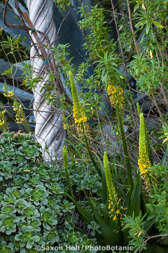 Bulbine latifolia Yellow flowering South African succulent - Arlington Garden, Pasadena