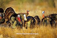 """00845-04606 """"Rio Grande"""" Wild Turkey (Meleagris gallopavo) male/gobbler strutting,  Starr Co.  TX"""