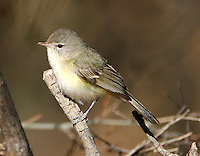 Northern beardless-tyrannulet adult