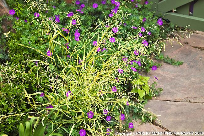 A single spray of yellow grass and some geraniums make a startling combinaton in Dan Johnson's Denver garden.
