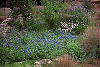 Wildflower demonstration garden with Lupines, Spiderwort (Tradescantia), and evening primrose at National Wildflower Research Center, Austin, Texas