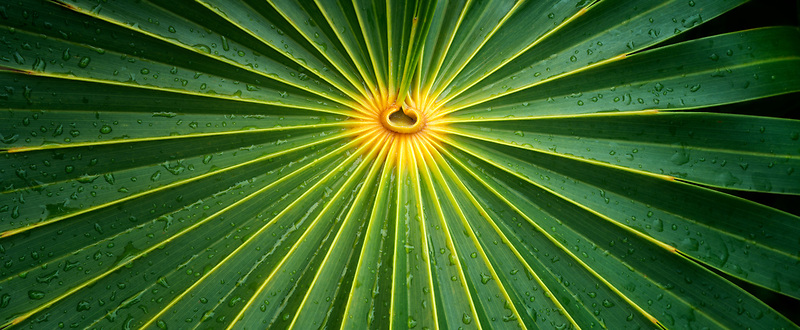 Close up of palm leaf. Turks and Caicos. Providenciales