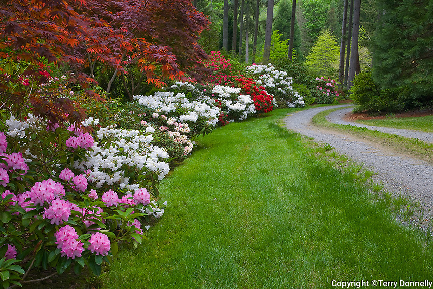 Vashon Island, WA<br /> Pacific northwest garden featuring maples and folowering rhododendron boardering a curving gravel drive at the forest margin