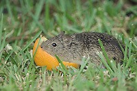 Hispid Cotton Rat, Sigmodon hispidus, adult eating orange, South Padre Island, Texas, USA