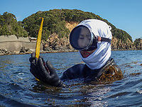 Japan, Mie Prefecture, Osatsu, Toba City. Family of Ama divers. Third generation women Ama free divers, well into their 70's. Once pearl divers, they now collect seaweed, conch, lobster, abalone, shellfish. Shore diving for shellfish. The women are considered better divers than men because of their body fat. Model released