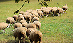 Flock of sheep following their leader bellwether in New Hampshire USA