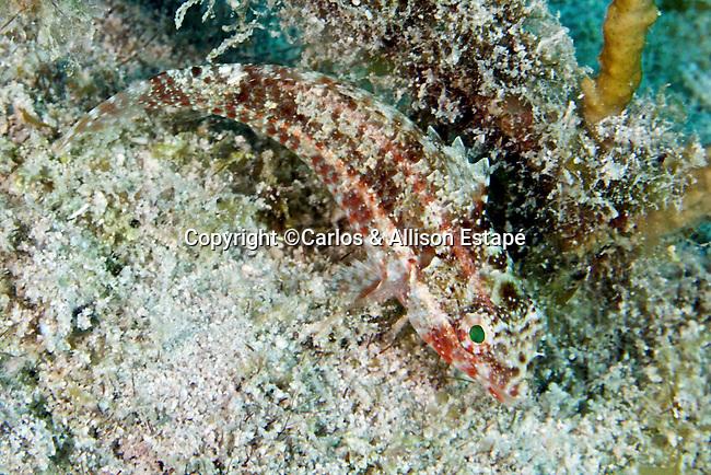 Sparisoma sp., Parrotfish juvenile, FL Keys