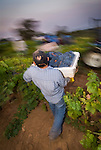 Zinfandel grape harvest at Joe Aparicio's zinfandel grape vineyard on Sutter Ridge in fall