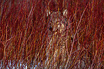 Grey Wolf, Montana