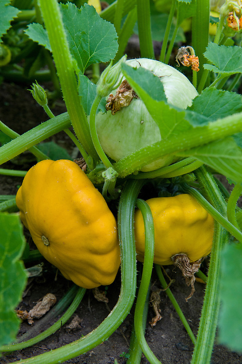 Patty pan-style squash 'Yellow Scallop', early August. Seeds were sown about 12 weeks earlier, in early May. A pale green Squash 'Squashkin' is in the background, not yet ripe.