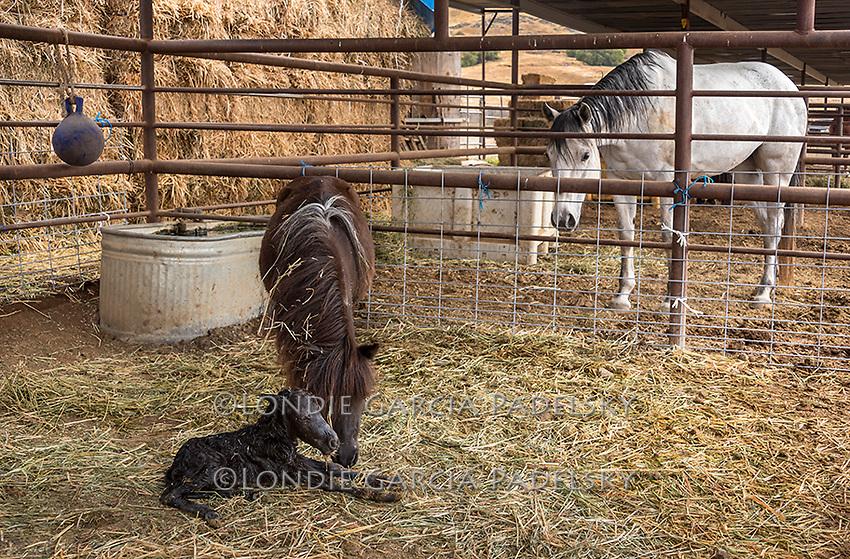 Miniature mare pony with her newborn.
