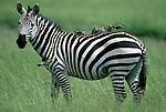 Birds perch on the back of a Burchell's zebra in Kenya.
