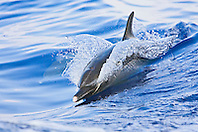 Pantropical Spotted Dolphin, Stenella attenuata, wake-riding, matured adult with white beak tip, off Kona Coast, Big Island, Hawaii, Pacific Ocean.