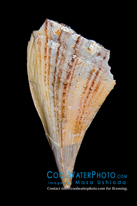 prickly pen shell, Pinna muricata - using sticky byssus threads, bivalves of the pen family anchor their fan-shaped shells in sand or gravel bottoms. Only the top edge of the shell protrudes above the bottom. 75 - 250 ft, Indo-Pacific Ocean