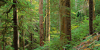 Forest in Mt. Rainier National Park, Washington