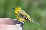 Yellow Wagtail, Motacilla flava, Elmley Marshes, Kent UK, Elmley Nature Reserve, perched on pipe, UK visitor, Endangered