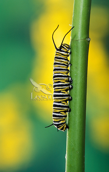MONARCH BUTTERFLY (Danaus plexippus) life cycle..Caperpillar 4th Instar on milkweed..British Columbia, Canada.