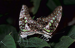 Tailed Jay Butterfly, Graphium agamemnon, pair mating, Thailand, South Asia.Thailand....