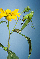 Unusual friends00 katydid and grey tree frog on Jerusalem artichoke. Much remains to be said between them.