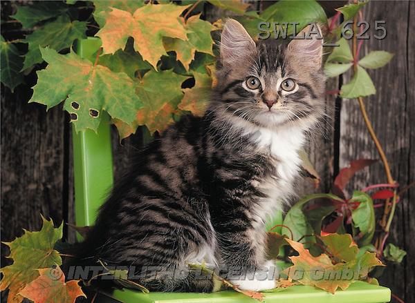 Carl, ANIMALS, photos(SWLA625,#A#) Katzen, gatos
