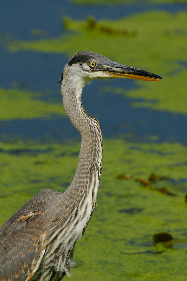 A Great Glue Heron Stands Erect on Lily Lake in Cape May Point, New Jersey