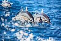 Hawaiian spinner dolphin, or Gray's spinner dolphin, Stenella longirostris longirostris, pair, synchronized jumping, Big Island, Hawaii, USA, Pacific Ocean