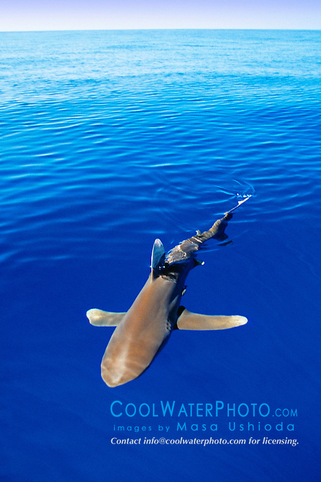 Oceanic Whitetip Shark, .Carcharhinus longimanus, .Big Island, Hawaii (Pacific).